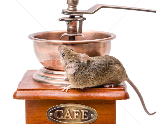 House mouse (Mus musculus) on coffee grinder Stock photo © icefront