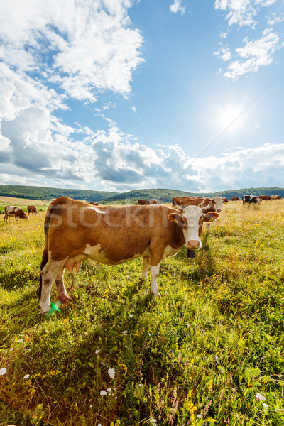 Herd of cows grazing on sunny field Stock photo © icefront