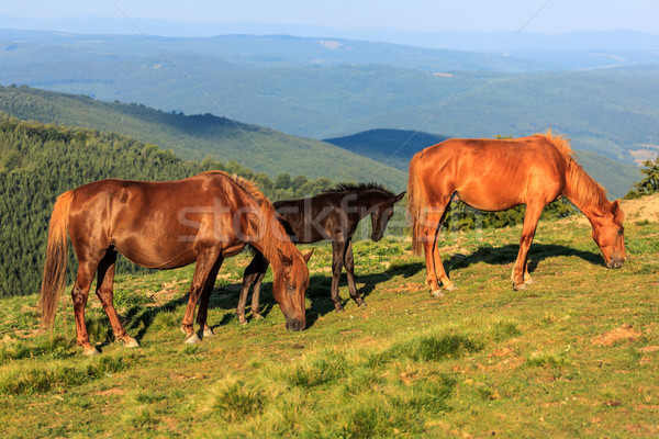 Wild horses on the hill Stock photo © icefront