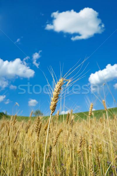 пшеницы летнее время один уха пейзаж Сток-фото © icefront
