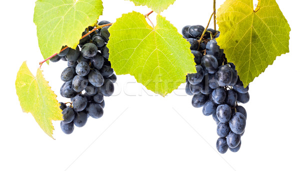 Blue grape clusters on white Stock photo © icefront
