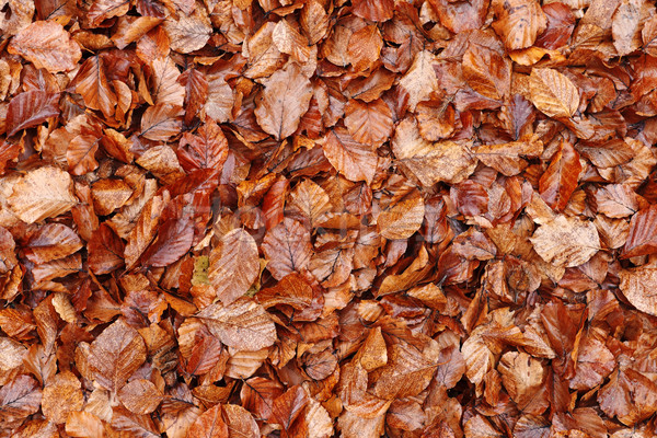 Dead fallen leaves background Stock photo © icefront