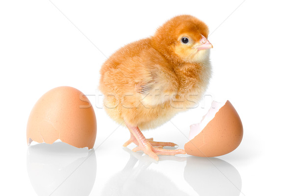 Brown newborn chicken with egg shells Stock photo © icefront