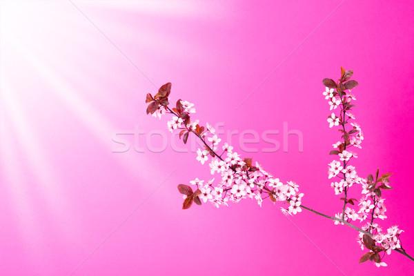 Virágzó almafa ág rózsaszín égbolt nap Stock fotó © icefront