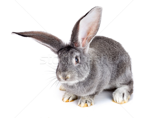 Grey rabbit on white background Stock photo © icefront