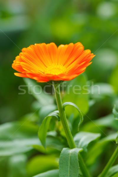Jardín abierto jardín de flores flor naranja verde Foto stock © icefront