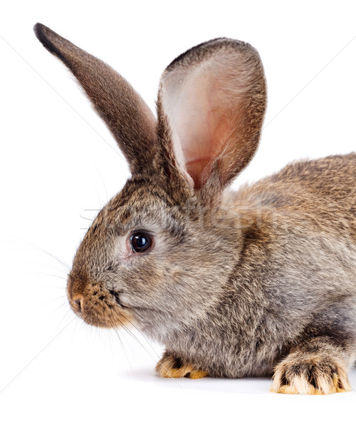 Portrait of brown rabbit Stock photo © icefront