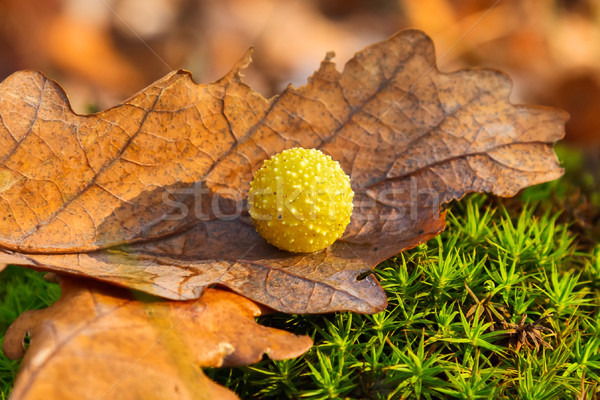 Yellow gall on dry oak leaf Stock photo © icefront