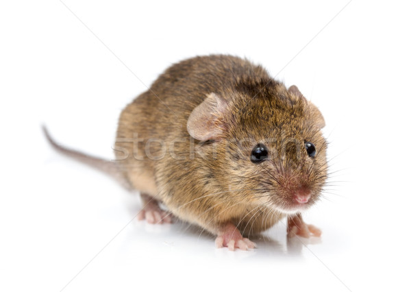 Casa ratón cerca vista minúsculo pelo Foto stock © icefront