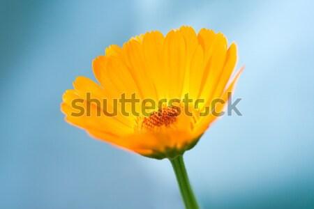 Calendula Officinalis Stock photo © icefront