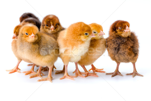 Group of newborn brown chickens Stock photo © icefront