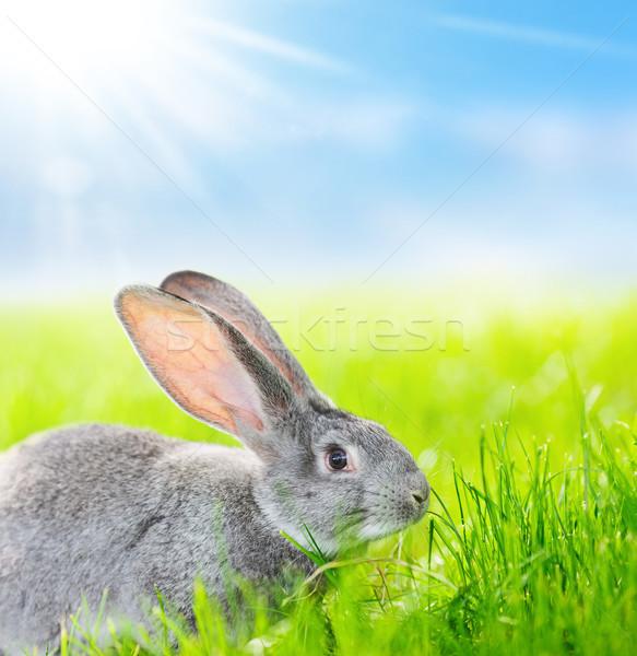 Portrait of gray rabbit Stock photo © icefront
