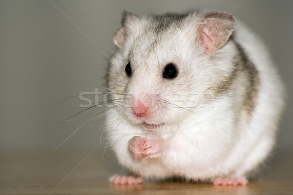 White hamster sitting Stock photo © icefront