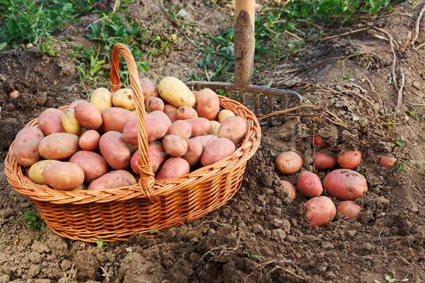 Papa cosecha escena patatas suelo Foto stock © icefront