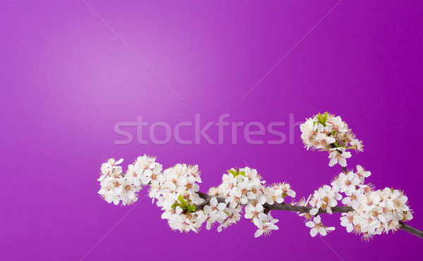 Blooming apple tree on purple Stock photo © icefront