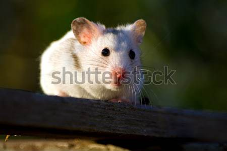 White hamster Stock photo © icefront