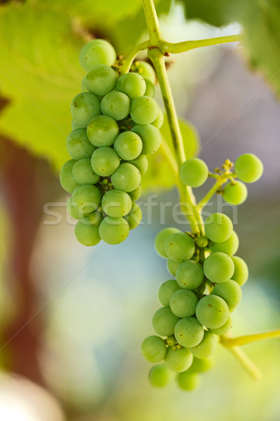 Unripe grape clusters Stock photo © icefront