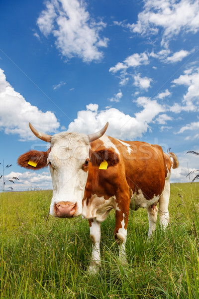Stock photo: Piebald cow on the field