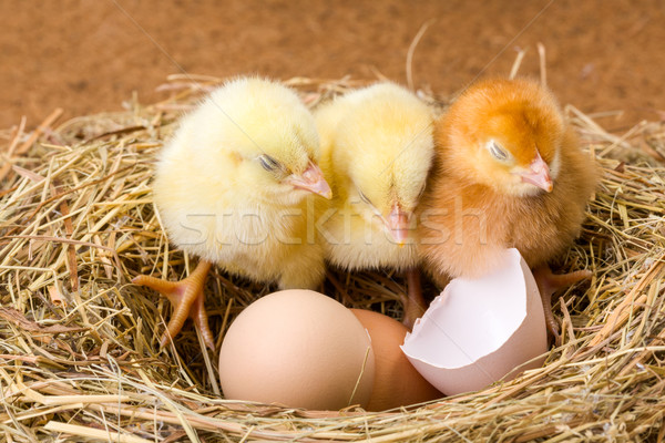 Little newborn chickens in nest with egg shell Stock photo © icefront