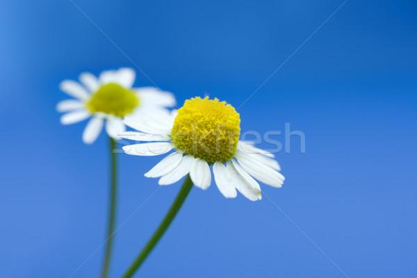 ромашка цветок пару синий поверхность здоровья Сток-фото © icefront
