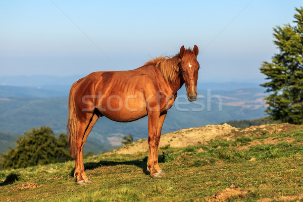 Wild horse on the hill Stock photo © icefront