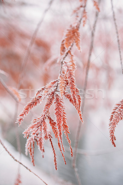 Snow-covered frozen japanese branches Stock photo © ifeelstock