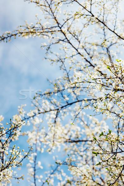 晴れた 春 日 ツリー ストックフォト © ifeelstock