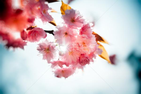 Natura giardino fiorito sakura scenico floreale fiore Foto d'archivio © ifeelstock