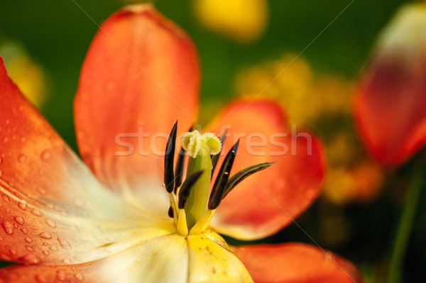 Open tulip in a garden Stock photo © ifeelstock
