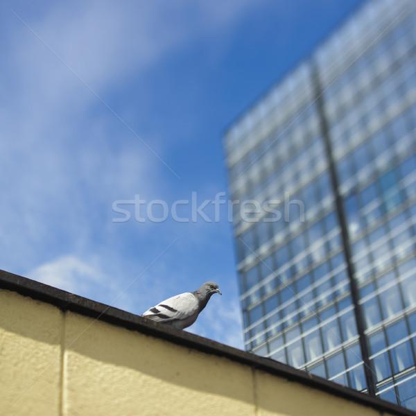 Single dove next to skyscraper Stock photo © ifeelstock