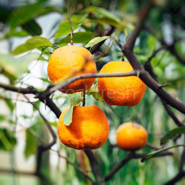 Narancsfa nyár érett gyümölcsök meleg napfény Stock fotó © ifeelstock