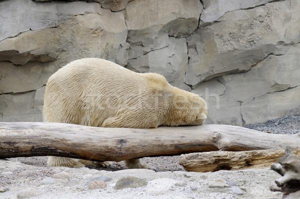 Funny polar bear Stock photo © ifeelstock