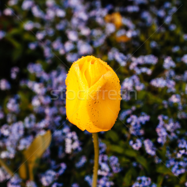 Citromsárga tulipán egy virág zöld kert virág Stock fotó © ifeelstock