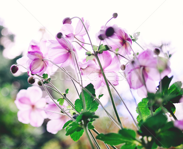 Beautiful Cosmos flowers Stock photo © ifeelstock