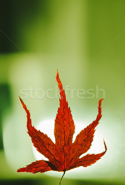 Stock photo: Autumn concept with micro maple leaf