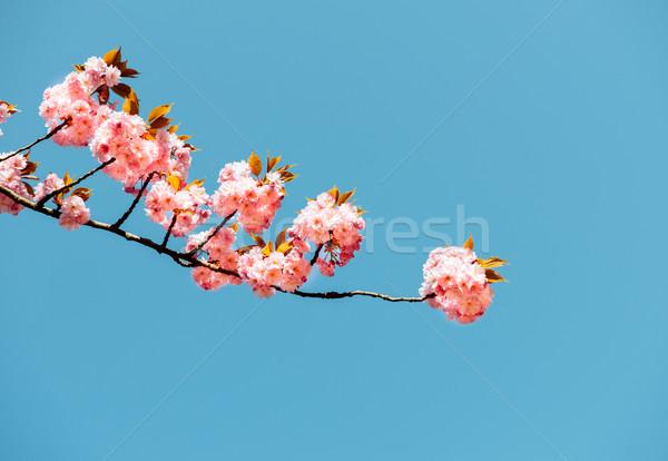 新鮮な 開花 桜 美しい 日本語 桜 ストックフォト © ifeelstock