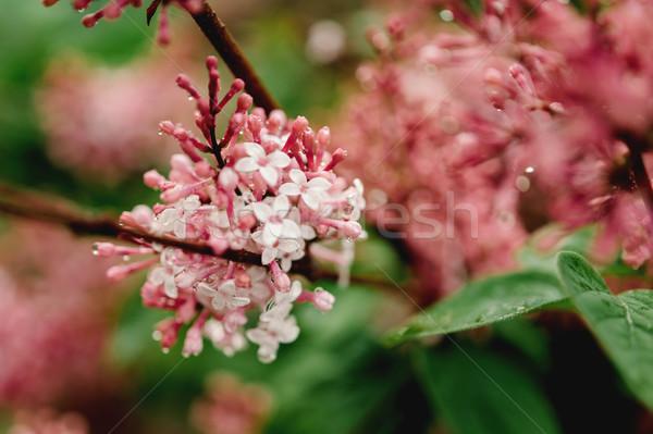 Fiore bella rosso bianco fiori Foto d'archivio © ifeelstock