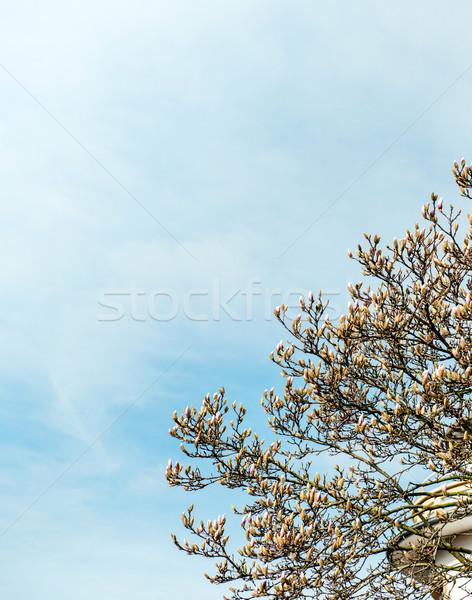 Manolya ağaç mavi açık gökyüzü bo Stok fotoğraf © ifeelstock