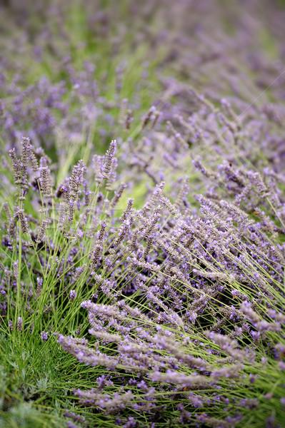 Lavender field Stock photo © ifeelstock