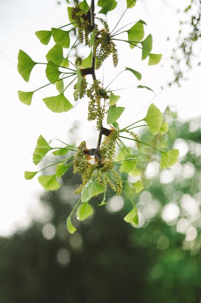 Ginkgo biloba tree in spring Stock photo © ifeelstock