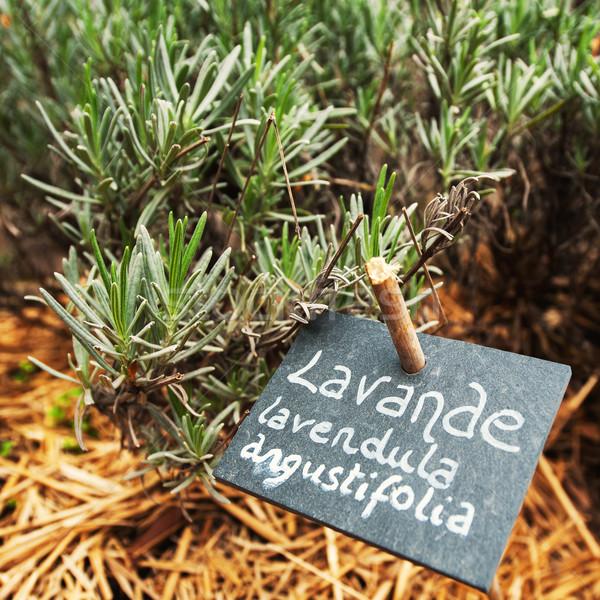 Gasztronómiai levendula kert növekvő hagyományos ház Stock fotó © ifeelstock