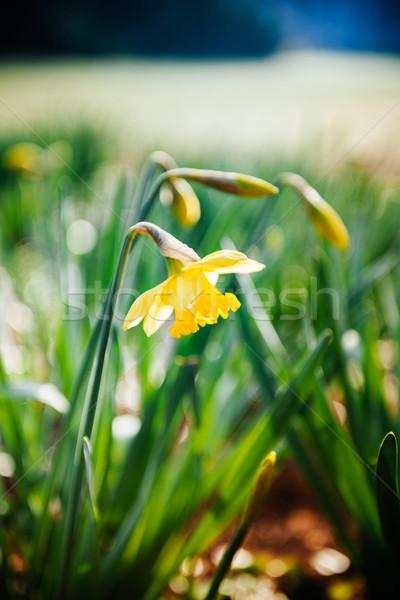 Yellow narcissus in park Stock photo © ifeelstock