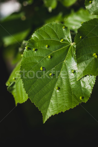 Gall mites on linden tree leafs Stock photo © ifeelstock