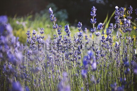 Beautiful detail of a lavender field Stock photo © ifeelstock