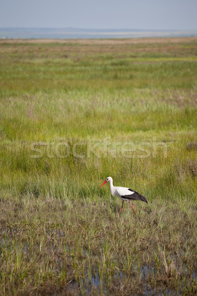 Stork in the wetlands Stock photo © igabriela