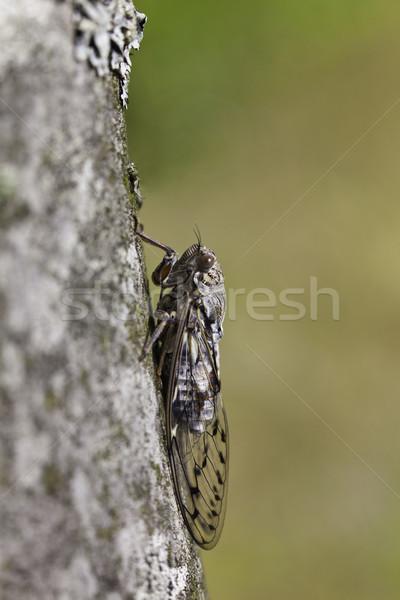 Cicada Stock photo © igabriela