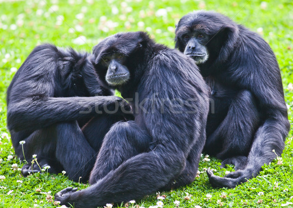 Siamang gibbon Stock photo © igabriela