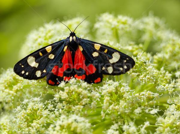 Scarlet Tiger moth Stock photo © igabriela