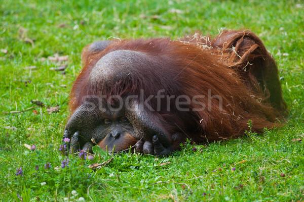 Orangutan erkek çim Dublin hayvanat bahçesi Stok fotoğraf © igabriela