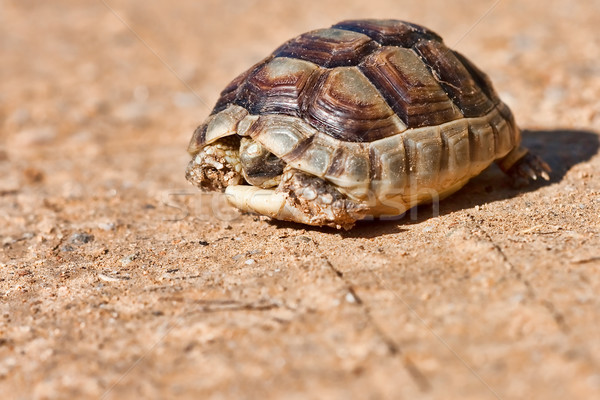 Spur-thighed Tortoise Stock photo © igabriela